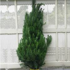 6ft Christmas Tree Nz by Real Christmas Trees Small Xmas Trees Direct