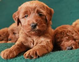 Non Shedding Small Dogs Australia by Labradoodle Puppies Central Oregon Mountain View Labradoodles