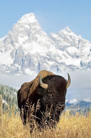 165 Best Bison Images On Pinterest | American Bison, Buffalo ... M Bison Yes Bison Wikipedia Another Moment Backyard An Original Song Youtube Best Price On Wow Woods Resort Yercaud In Reviews What You Know Two Door Cinema Club Hidden Backyard Desnations Karuna Farm Kodaikanal India The Premium Leather Can Cooler American Made Outdoor Gear Cadian Meat Council Agriculture Today Around The World Kings Of Leon A Cgressional Tribute For That Roamed Prairie