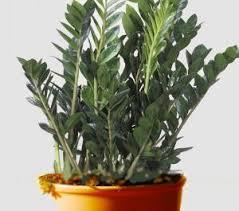 entretien plante grasse d interieur zamioculcas soins et entretien plantes d intérieur mode d