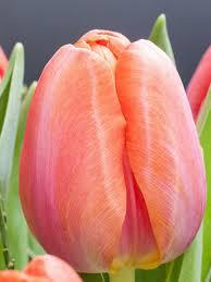 don quichotte tulip bulbs bulk buy