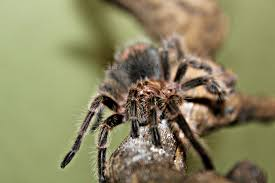 Do Tarantulas Shed Their Fangs by Hairy Potter Rose Hair Tarantula With Watermark Cool