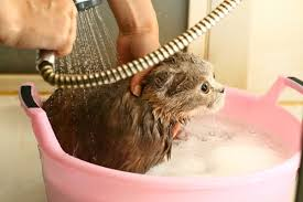 bathing cats how to bathe your cat without bloodshed catster