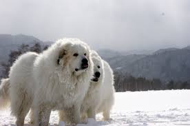 know about great pyrenees know about dog