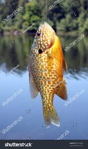 Pumpkin Seed Sunfish Pictures by Pumpkinseed Sunfish Stock Photo 60134584 Shutterstock