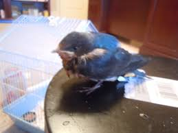 The Baby Barn Swallow Story - Birding The West Union Bay Watch Surround Sound The Color Is So Beautiful Birds Pinterest Tree Swallow Easy Tips To Attract Swallows Swifts And Martins Feather Tailed Stories 2017 Barn Swallow Migration Annual Cycle Audubon Guide North American Fledgling Feeding Time Youtube Petting A Baby Hinterland Whos Who Eating Insects Barn Nextdoor Nature