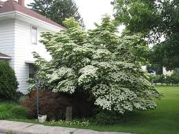 Backyard Garden Kousa Dogwood Tree - Growing Tips For Kousa ... Garden Design With Backyard Landscaping Trees Backyard Fruit Trees In New Orleans Summer Green Thumb Images With Pnic Park Area Woods Table Stock Photo 32 Brilliant Tree Ideas Landscaping Waterfall Pond Stock Photo For The Ipirations Shejunks Backyards Terrific 31 Good Evergreen Splendid Grass Scenic Touch Forest Monochrome Sumrtime Decorating Bird Bath Fountain And Lattice Large And Beautiful Photos To Select Best For