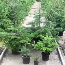 Nordmann Fir Christmas Trees Wholesale by Real Nordman Fir Nordmann Fir Container Grown Living Christmas