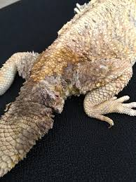 Bearded Dragon Shedding Help by Help Tail Discolored And Cracking U2022 Bearded Dragon Org