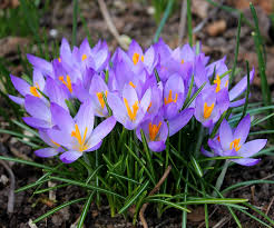 free photo crocuses flower bulbs easter flowers crocus