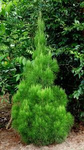 Christmas Tree Species by Gymnostoma Australianum U2013 Daintree Christmas Tree Wild Wings