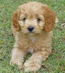 do cavapoos shed a lot cavapoo this will be my puppy that i adopt i