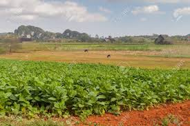 Tobacco Fields Near Vinales Cuba Stock Photo Picture And Royalty