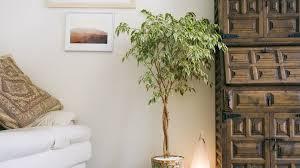 große zimmerpflanzen für haus wohnung und büro obi