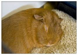 Pine Bedding For Guinea Pigs by 5 Common Mistakes Guinea Pig Owners Make Pethelpful