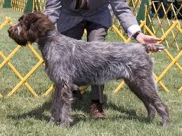 Griffon German Wirehaired Pointer Shedding by Wirehaired Pointing Griffon Dog Spotters