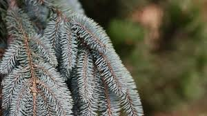 Types Of Christmas Trees To Plant by Home And Garden Landscape Top Five Pine Trees Youtube