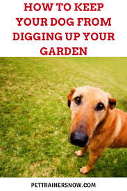 How To Get Your Dog To Stop Digging Up Your Garden - PetTrainersNow Amazoncom High Tech Pet Humane Contain X10 Rechargeable Multi Dog Gone Problems How To Keep Your Dog Safe Around Weed Killer Canine Hoarders Why Do Dogs Bury Food Petful What Should I If My Dies At Home The 25 Best Proof Fence Ideas On Pinterest Digging Dogs Blog Ruff Life Outfitters Animal Tips Archives Tupelolee Society Wireless Fence 2017 Top Consumer Picks Expert Unbiased Reviews Logic Lol You Stop Feeding Your Commercial 26 Quick Simple Ways To Relieve Boredom Puppy Leaks Is It Legal A In Yard Willamette Week