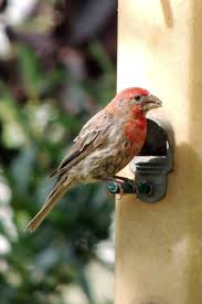 Attracting House Finches   Backyard Birding Feeding   Wild Bird Co Backyard Bird Watching House Finch Nest 5 Weeks Complete Feeding Finches Graycrowned Rosyfinch Audubon Field Guide Free Images Nature Wilderness Branch Seed Animal Summer At Feeder Stock Photo Image 82153967 How To Offer Nyjer Birds Birding Two Great Books For Those Who Enjoy Pet Upside Down Wild Tube Essentials Triple Supoceras Ornithology Finch Breeding Attract Goldfinches Your Dgarden Sfv Idenfication San Fernando Valley Society