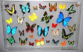 Paradise Framed Large Real Butterfly Display