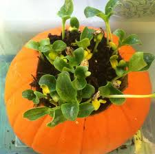 Larkspur Pumpkin Patch by Cheryl U0027s Classroom Tips Growing Pumpkins And Studying Compost