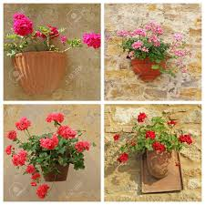 Poster With Geranium Flowers In Rustic Pots Hanging On Antique Wall Tuscany Italy