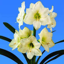 free shipping amaryllis flower bulbs garden plants flowers