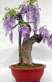 planting wisteria in a pot wisteria sinensis potted plants seed wisteria vine zhong