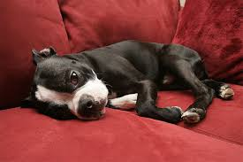 Rat Terrier Excessive Shedding by Boston Terrier Dog Breed Information Pictures Characteristics
