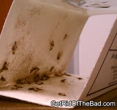 Carpet Weevil Pictures by How To Get Rid Of Carpet Beetles Get Rid Of The Bad