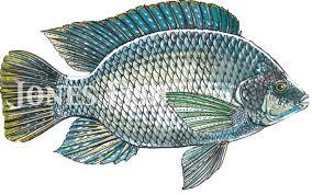 Tilapia Jones Fish Hatcheries