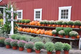 Pumpkin Picking In Waterbury Ct by Pck Your Own Drazen Orchards Cheshire Ct
