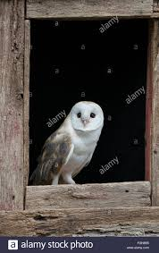 Barn Owl (Tyto Alba) Sitting On Barn Window Sill, Eastern USA ... Barn Owl Looking Over Shoulder Perched On Old Fence Post Stock Eccles Dinosaur Park Carnivore Carnival The Salt Project Barn Moving Head Side To Slow Motion Video Footage 323 Best Owls Images Pinterest Owls Children And Free Images Wing White Night Animal Wildlife Beak Predator 189 Beautiful Birds Sat A Falconers Glove Photo Royalty Image Paris Owl 150 Pictures Snowy More