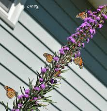 liatris ligulistylis blazing the ultimate monarch magnet