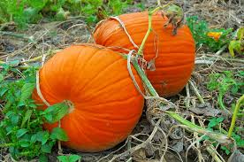 Natural Fertilizer For Pumpkins by Grow Pumpkins In Time For Halloween The Grow Network The Grow