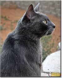 russian cat names rascal russian blue mix september 14 2017