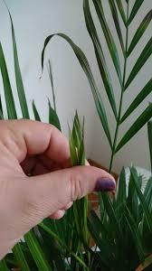 goldfruchtpalme und kentia palme palmen pflanzenforum
