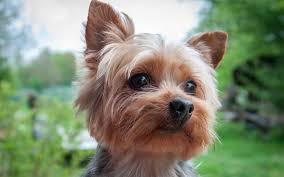 Terriers That Dont Shed by Small Dog Breeds That Don U0027t Shed Nuzzle Your Gps Pet Tracker