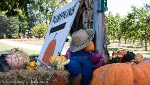 Mission Valley Pumpkin Patch by Pumpkins History U0026 More At Cory Holman U0027s Pumpkin Patch Old