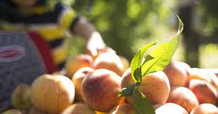 Mother Nature Pumpkin Patch Gilbert Az by Peach Wine Slush Visit Schnepf Farms U0027 2016 Festival