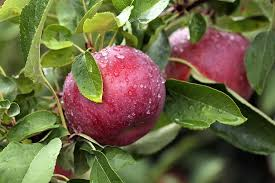 Apple Pumpkin Picking Syracuse Ny by 6 Best Places To Pick Apples In The Capital Region