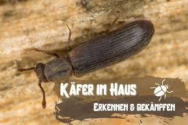 kleine braune käfer in haus wohnung bestimmen und
