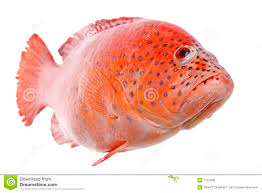 Red Tilapia Fish Isolated Stock Photo Image Of Nutrition