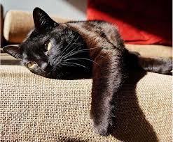 bombay cats 7 photos that prove bombay cats are basically heat seeking