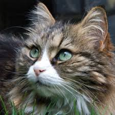 haired cat cat breeds what you should consider pawsitively pawesome cats