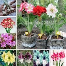shop ture amaryllis bulbs hippeastrum flowers hippeastrum