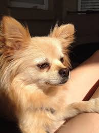 Do Long Haired Chiweenies Shed by Pom Chi