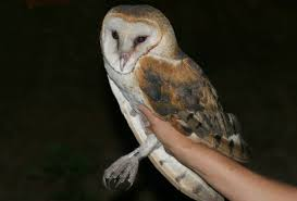 Barn Owl, Tyto Alba Common Barn Owl 4 Mounths In Front Of A White Background Stock Royalty Free Images Image 23603549 Known Photo 552016159 Shutterstock Owl Wikipedia 644550523 Mdc Discover Nature Tyto Alba Perched On A Falconers Arm At Daun Audubon Field Guide Mounths Lifeonwhite 10867839 Barnowl 1861 Best Owls Snowy Saw Whets Images Pinterest Photos Dreamstime