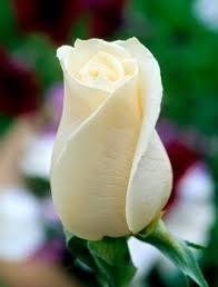 White rose สิ่งที่ชอบ Pinterest