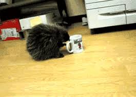 Porcupine Eating Pumpkin Gif by Porcupine Drinks Out Of Coffee Cup And Spins Gif